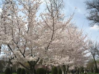 日本の桜が根付いた公園でお散歩