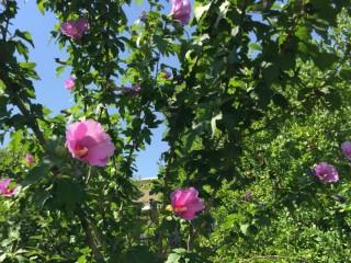 この花を見ると夏が来たって感じがする…
